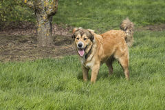 Één Jonge Gouden Hond onbeweeglijk Stock Foto