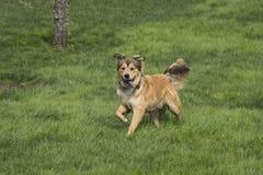Één Jonge Gouden Hond onbeweeglijk Stock Afbeeldingen