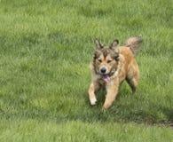 Één Jonge Gouden Hond onbeweeglijk Royalty-vrije Stock Afbeeldingen