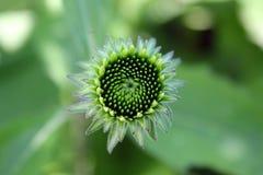 Één jonge groene bloemknop De tot bloei komende bloem is omhoog dicht Royalty-vrije Stock Foto's