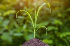 Één jonge struik, kleine, groene, vroege, suikermaïs het groeien op het de lentegebied van land zwarte die aarde door de zonstral Stock Foto's