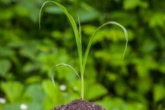 Één jonge struik, kleine, groene, vroege, suikermaïs het groeien op het de lentegebied van land zwarte die aarde door de zonstral Stock Fotografie