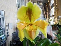 één kanarie gele orchidee in een groen huis Stock Afbeeldingen
