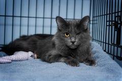 Één kat van de oog grijze schuilplaats Stock Afbeeldingen