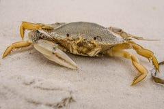 Één-klauw Crab2 Stock Afbeelding