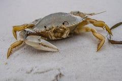 Één-klauw Crab4 stock fotografie