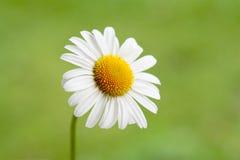 Één Kleine Daisy Royalty-vrije Stock Afbeelding