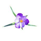 Één kleine krokusbloem met doorbladert Stock Fotografie