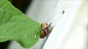 Één Kleine Slak op de Witte Muur terwijl het Eten van Groen Blad stock footage