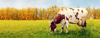 Één koe het weiden in weide Stock Afbeelding