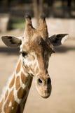 Één Koele Giraf Royalty-vrije Stock Afbeeldingen
