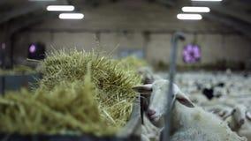 Één lams weidend stro binnen het landbouwbedrijf stock footage
