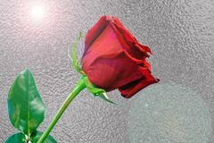 Één lange rode stam nam tegen zilveren folieachtergrond toe Royalty-vrije Stock Fotografie