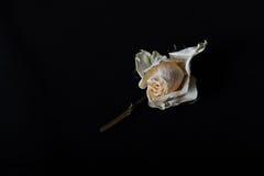 Één langzaam verdwenen rozen Royalty-vrije Stock Afbeeldingen