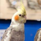 Één leuke kleine gele papegaai Royalty-vrije Stock Fotografie