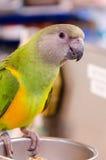 Één leuke kleine groene en gele papegaai Royalty-vrije Stock Foto