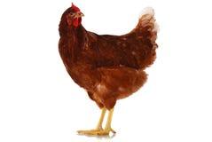 Één levende kip van gemiddelde lengte op wit Stock Afbeeldingen
