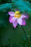 Één lotusbloembloem in het regenen Stock Afbeelding
