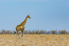 Één mannelijke giraf die in droge weide met bussen en blauwe hemel lopen royalty-vrije stock afbeelding