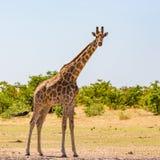Één mannelijke giraf die zich in savanne met struiken bevinden, zonneschijn royalty-vrije stock foto