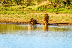 Één Mannetje en één het Vrouwelijke Leeuw drinken bij zonsopgang in Nkaya Pan Watering Hole stock foto