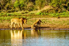 Één Mannetje en één het Vrouwelijke Leeuw drinken bij zonsopgang in Nkaya Pan Watering Hole stock afbeeldingen