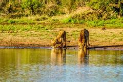 Één Mannetje en één het Vrouwelijke Leeuw drinken bij zonsopgang in Nkaya Pan Watering Hole royalty-vrije stock foto's