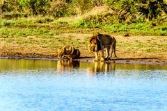 Één Mannetje en één het Vrouwelijke Leeuw drinken bij zonsopgang in Nkaya Pan Watering Hole royalty-vrije stock foto
