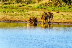 Één Mannetje en één het Vrouwelijke Leeuw drinken bij zonsopgang in Nkaya Pan Watering Hole stock afbeelding