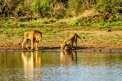 Één Mannetje en één het Vrouwelijke Leeuw drinken bij zonsopgang in Nkaya Pan Watering Hole stock fotografie