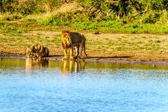 Één Mannetje en één het Vrouwelijke Leeuw drinken bij zonsopgang in Nkaya Pan Watering Hole in Kruger-Park royalty-vrije stock foto