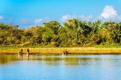 Één Mannetje en twee Vrouwelijke Leeuwen die bij zonsopgang in Nkaya Pan Watering Hole drinken stock fotografie