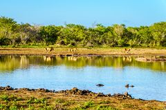 Één Mannetje en twee Vrouwelijke Leeuwen die bij zonsopgang in Nkaya Pan Watering Hole drinken royalty-vrije stock foto's