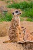 Één meerkat of suricat status op zand Royalty-vrije Stock Foto's