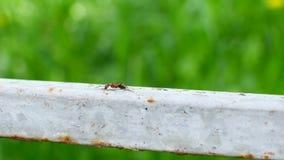 Één mier die op een metaaloppervlakte kruipen stock footage