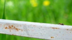 Één mier die op een metaaloppervlakte kruipen stock videobeelden