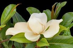 Één mooie bloem van Magnolia grandiflora op zwarte achtergrond stock afbeelding