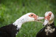 Één Muscovy Duck Talking To Another stock afbeeldingen