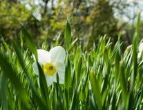 Één Narcis onder de gebladerte Zonnige dag Royalty-vrije Stock Foto's