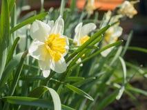 Één Narcis onder de gebladerte Zonnige dag Royalty-vrije Stock Afbeelding
