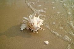 Één Natuurlijke Murex Ramosus Shell op het Strand die door swash naderbij komen Stock Afbeelding