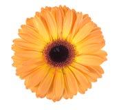 Één oranje bloem Royalty-vrije Stock Foto