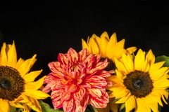 Één oranje dahlia met gele zonnebloemen stock foto