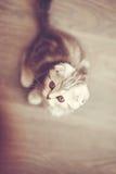 Één pluizig mooi katje, rassen Schots-vouwen Stock Foto