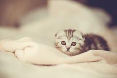 Één pluizig mooi katje, rassen Schots-vouwen Royalty-vrije Stock Fotografie