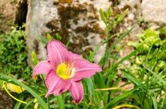Één purpere bloem Stock Afbeelding