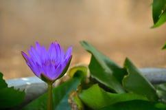 Één purpere lotusbloem in vijver Royalty-vrije Stock Afbeelding