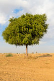 Één rhejriboom in woestijn undet blauwe hemel Royalty-vrije Stock Foto's