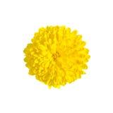 Één rijke gele chrysant Stock Afbeelding