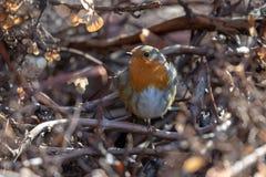 Één Robin die zich op tak op zonnig weer bevinden royalty-vrije stock foto's